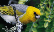 The Need to Save Hawaiian birds from Extinction Crisis